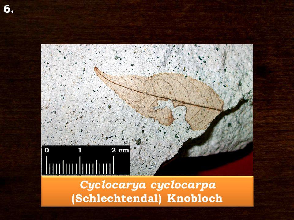 Cyclocarya cyclocarpa (Schlechtendal) Knobloch 6.