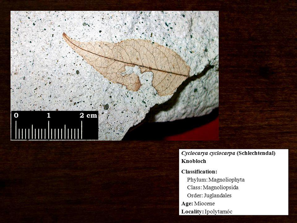 Classification: Phylum: Magnoliophyta Class: Magnoliopsida Order: Juglandales Age: Miocene Locality: Ipolytarnóc