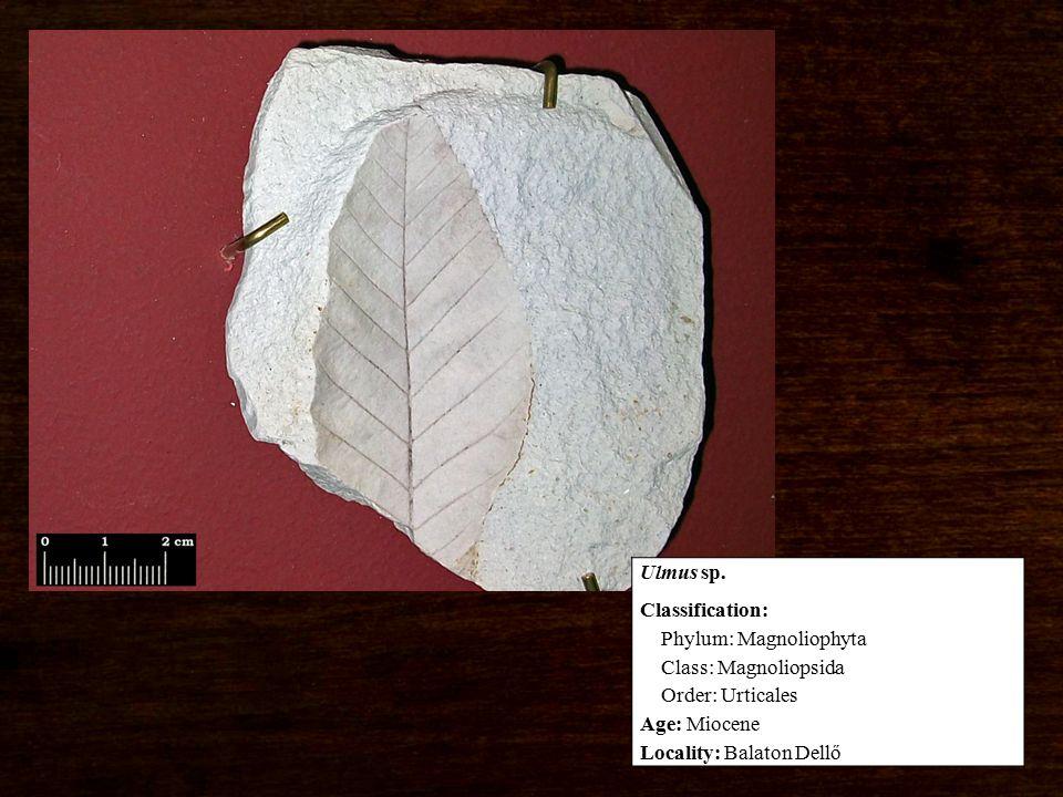 Classification: Phylum: Magnoliophyta Class: Magnoliopsida Order: Urticales Age: Miocene Locality: Balaton Dellő