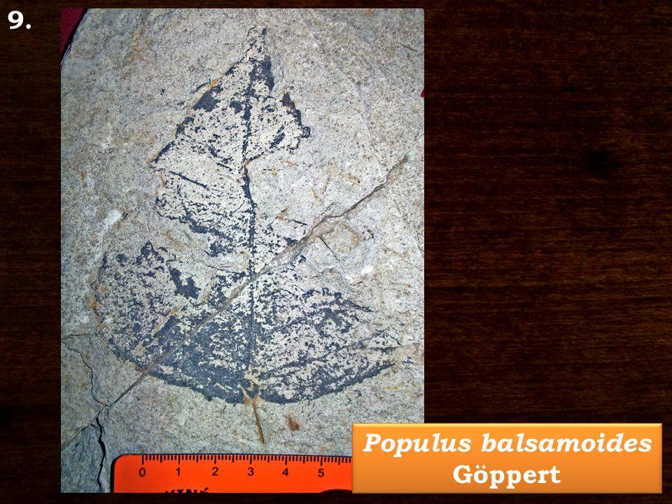 Populus balsamoides Göppert 9.