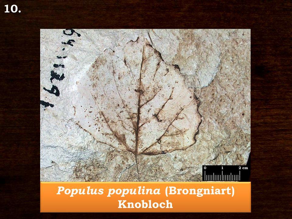 Populus populina (Brongniart) Knobloch 10.