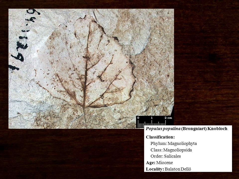 Classification: Phylum: Magnoliophyta Class: Magnoliopsida Order: Salicales Age: Miocene Locality: Balaton Dellő