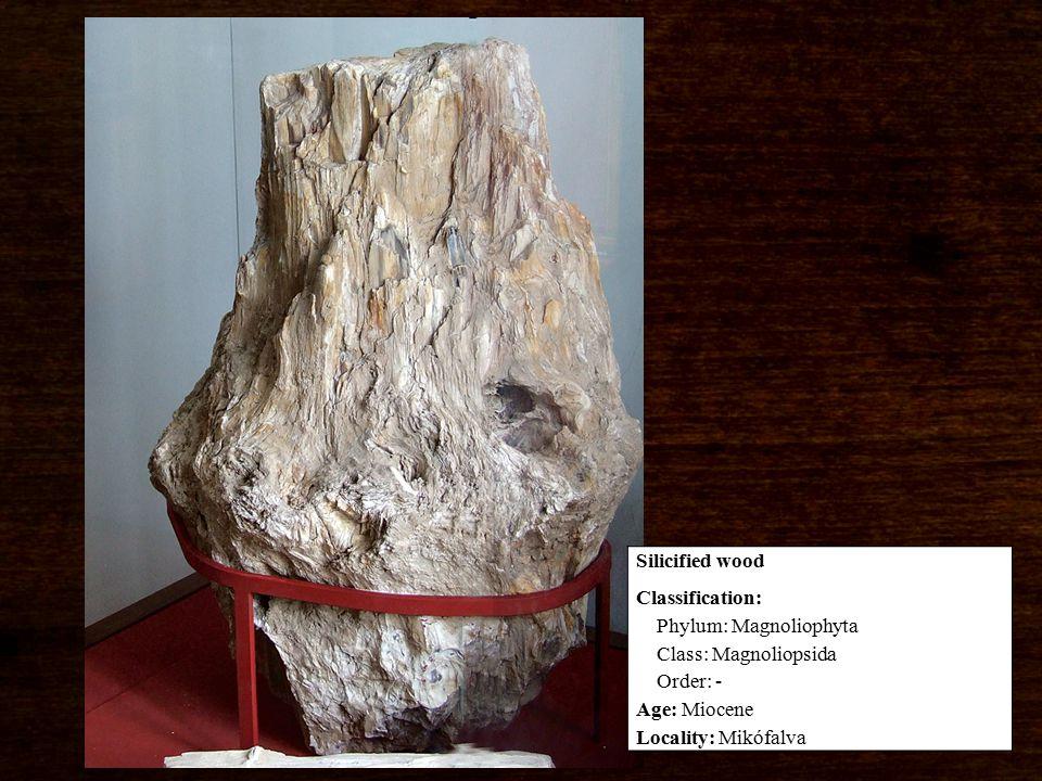 Classification: Phylum: Magnoliophyta Class: Magnoliopsida Order: - Age: Miocene Locality: Mikófalva