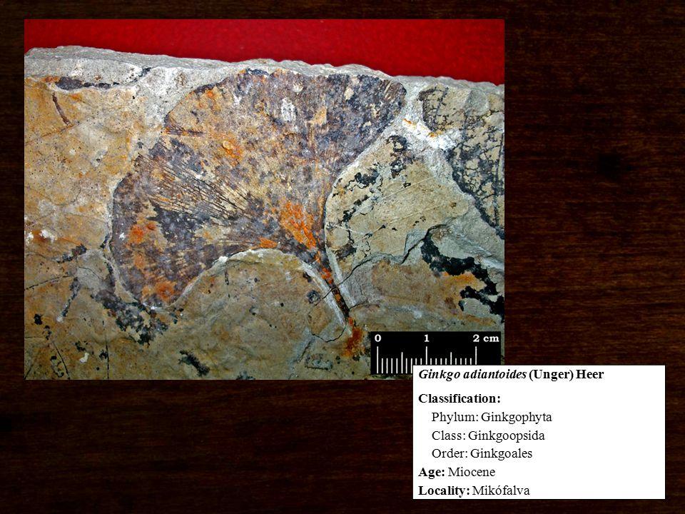 Classification: Phylum: Ginkgophyta Class: Ginkgoopsida Order: Ginkgoales Age: Miocene Locality: Mikófalva