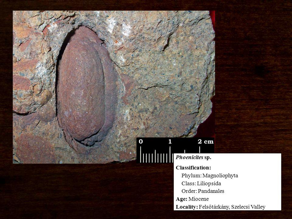 Classification: Phylum: Magnoliophyta Class: Liliopsida Order: Pandanales Age: Miocene Locality: Felsőtárkány, Szelecsi Valley