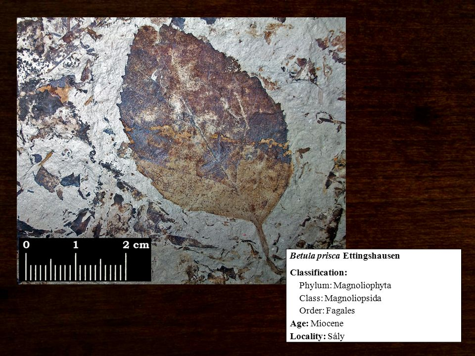 Classification: Phylum: Magnoliophyta Class: Magnoliopsida Order: Fagales Age: Miocene Locality: Sály