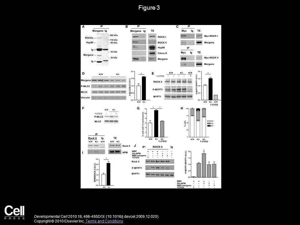 Figure 4 Developmental Cell 2010 18, 486-495DOI: (10.1016/j.devcel.2009.12.020) Copyright © 2010 Elsevier Inc.