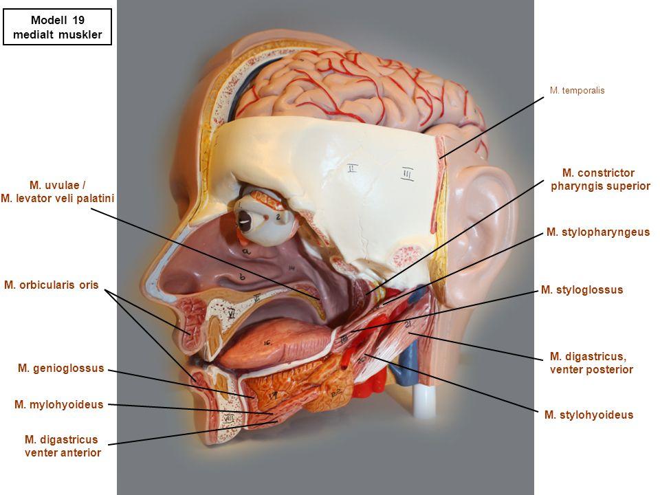 Modell 19 medialt diverse Concha nasalis media Concha nasalis inferior A.