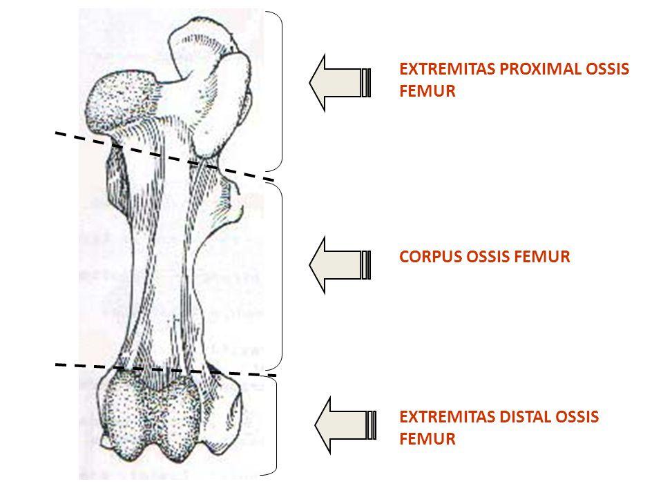 CAPUT FEMUR FOVEA CAPITIS COLLUM FEMUR PARS CAUDAL TROCHANTER MAJOR PARS CRANIAL TROCHANTER MAJOR FEMUR HORSE (CAUDAL VIEW)