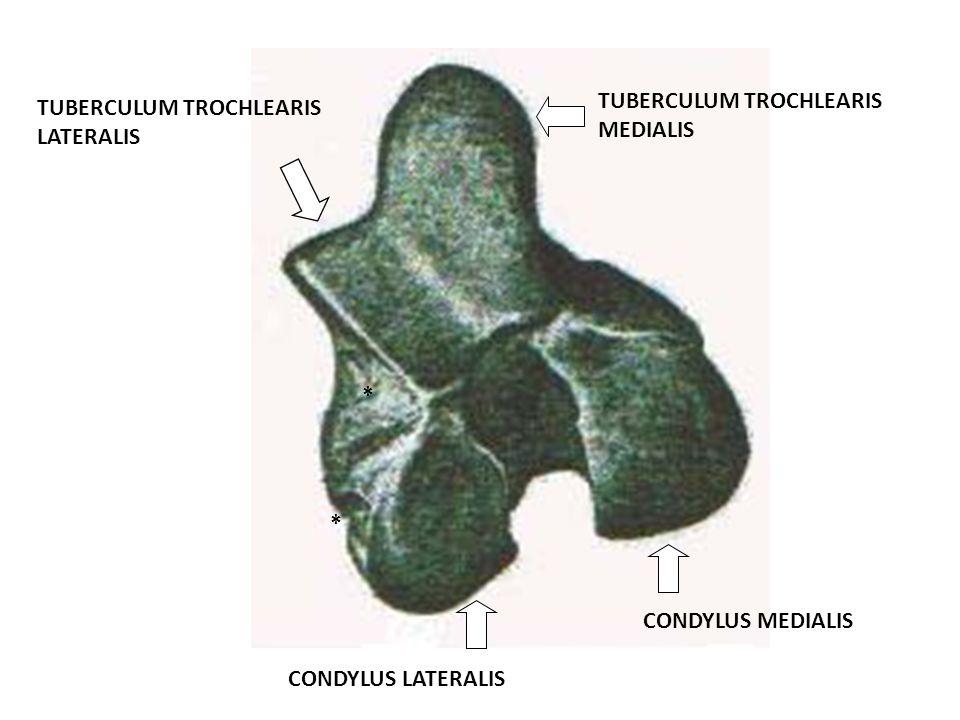 TUBERCULUM TROCHLEARIS MEDIALIS TUBERCULUM TROCHLEARIS LATERALIS CONDYLUS MEDIALIS CONDYLUS LATERALIS * *