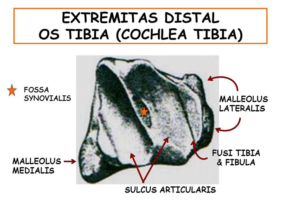 OS CALCANEUS TUBER CALCIS DORSAL VIEW PLANTAR VIEW LATERAL VIEW
