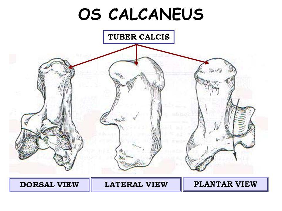 DORSAL VIEW SULCUS CALCANEI FACIES ARTICULARIS TALARES FOSSA SYNOVIALIS (SINUS TARSI)