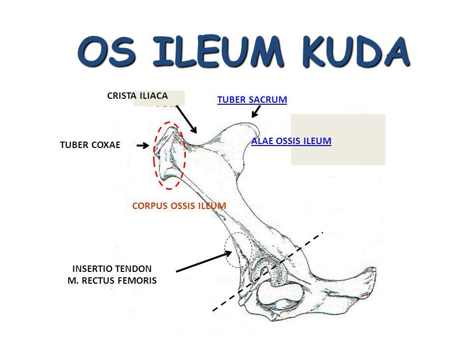 OS ILEUM KUDA TUBER SACRUM TUBER COXAE CRISTA ILIACA CORPUS OSSIS ILEUM ALAE OSSIS ILEUM INSERTIO TENDON M. RECTUS FEMORIS