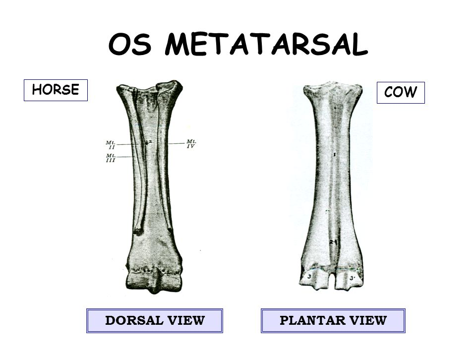 OS METATARSAL DORSAL VIEWPLANTAR VIEW COW HORSE