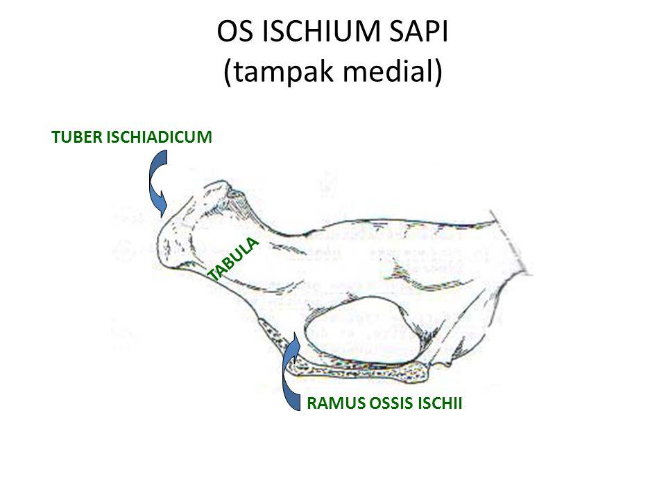 ARCHUS ISCHIADICUS