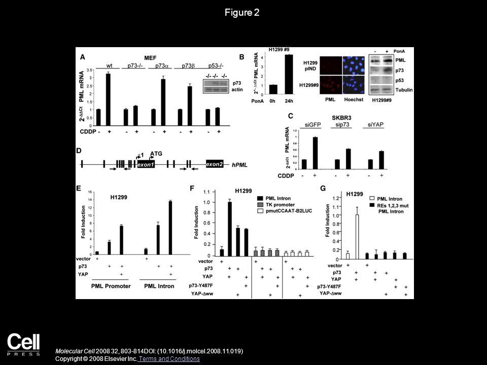 Figure 2 Molecular Cell 2008 32, 803-814DOI: (10.1016/j.molcel.2008.11.019) Copyright © 2008 Elsevier Inc.