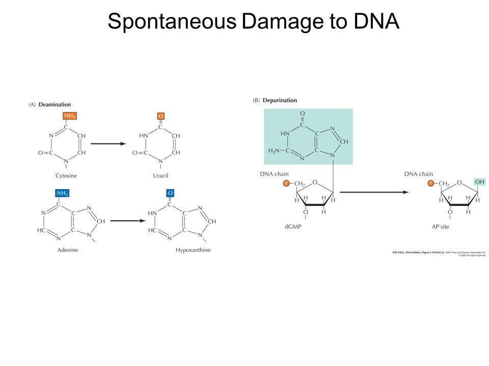 Spontaneous Damage to DNA