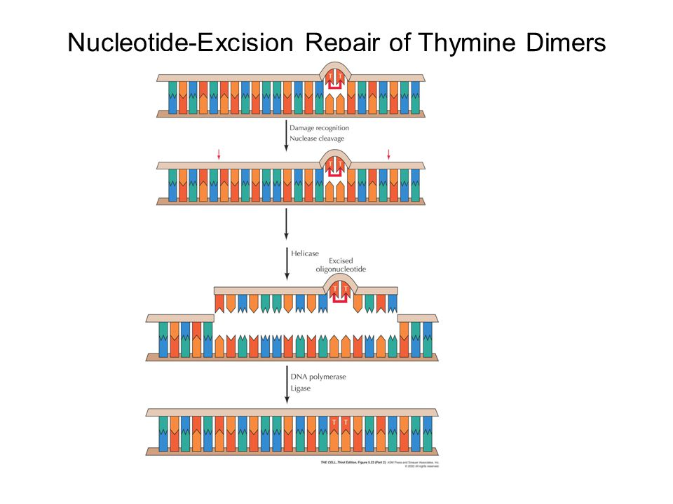 Nucleotide-Excision Repair of Thymine Dimers