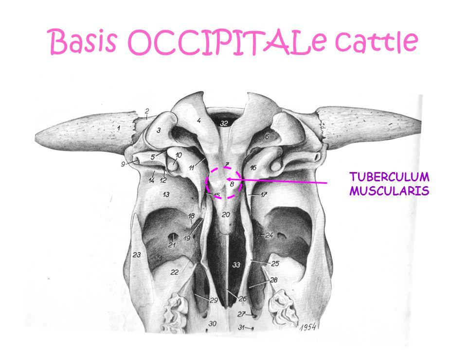 Basis OCCIPITALe cattle TUBERCULUM MUSCULARIS