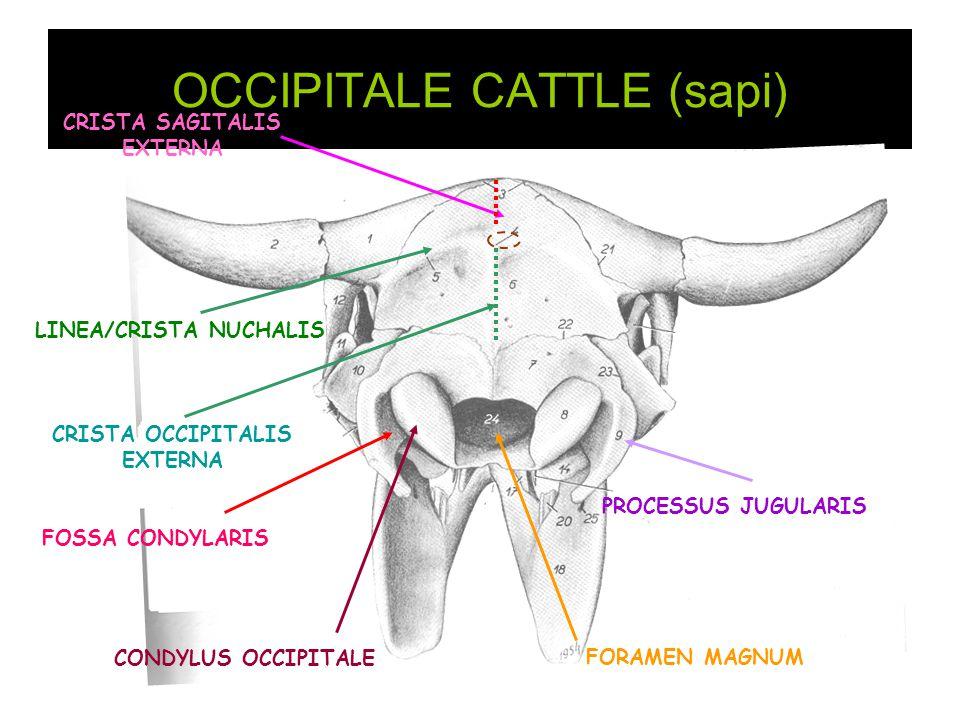 OCCIPITALE CATTLE (sapi) FORAMEN MAGNUM CONDYLUS OCCIPITALE PROCESSUS JUGULARIS FOSSA CONDYLARIS LINEA/CRISTA NUCHALIS CRISTA OCCIPITALIS EXTERNA CRIS