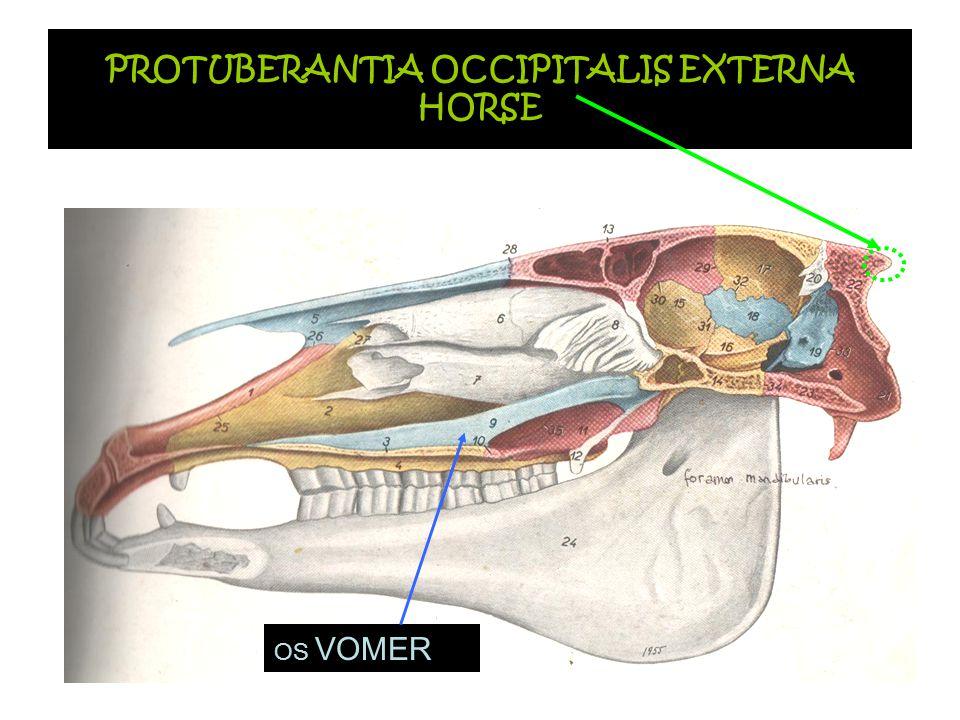 PROTUBERANTIA OCCIPITALIS EXTERNA HORSE OS VOMER
