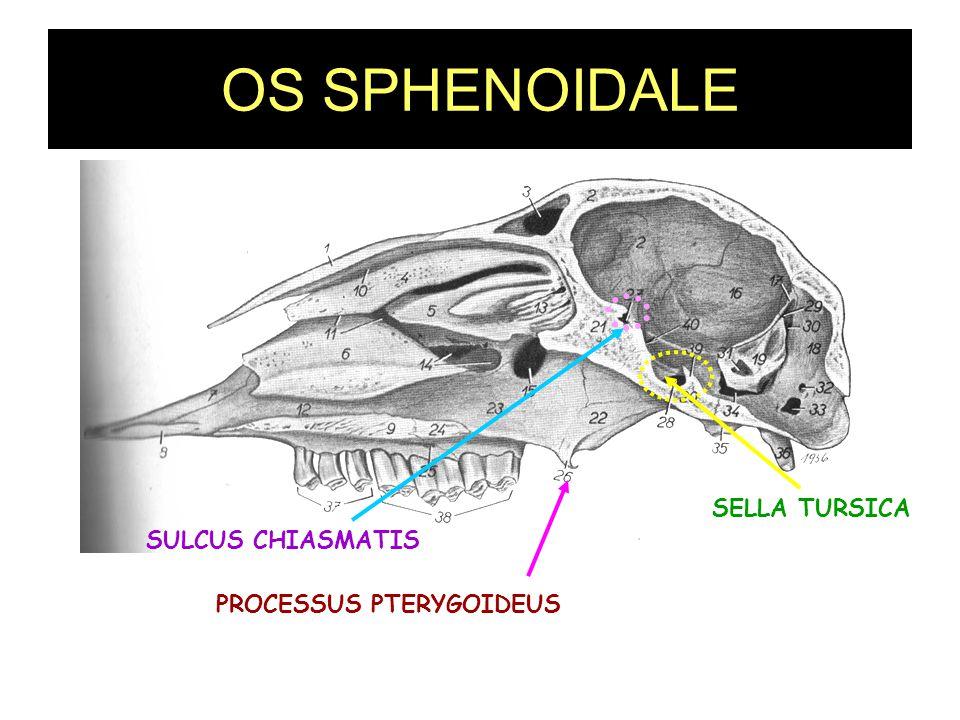 OS SPHENOIDALE SELLA TURSICA SULCUS CHIASMATIS PROCESSUS PTERYGOIDEUS