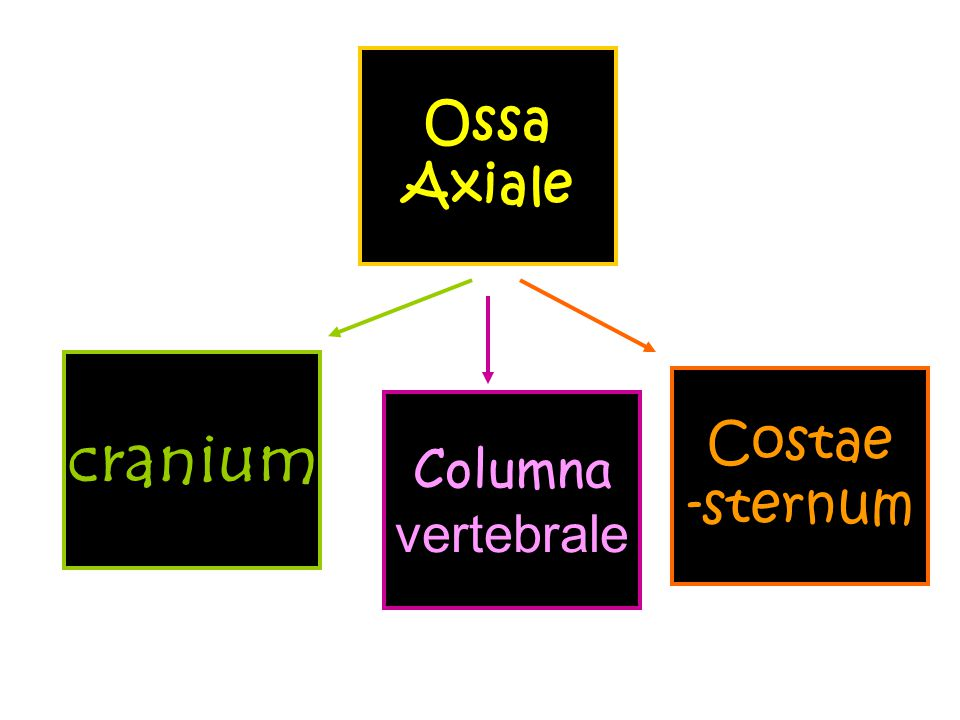 Ossa Axiale Costae -sternum cranium Columna vertebrale