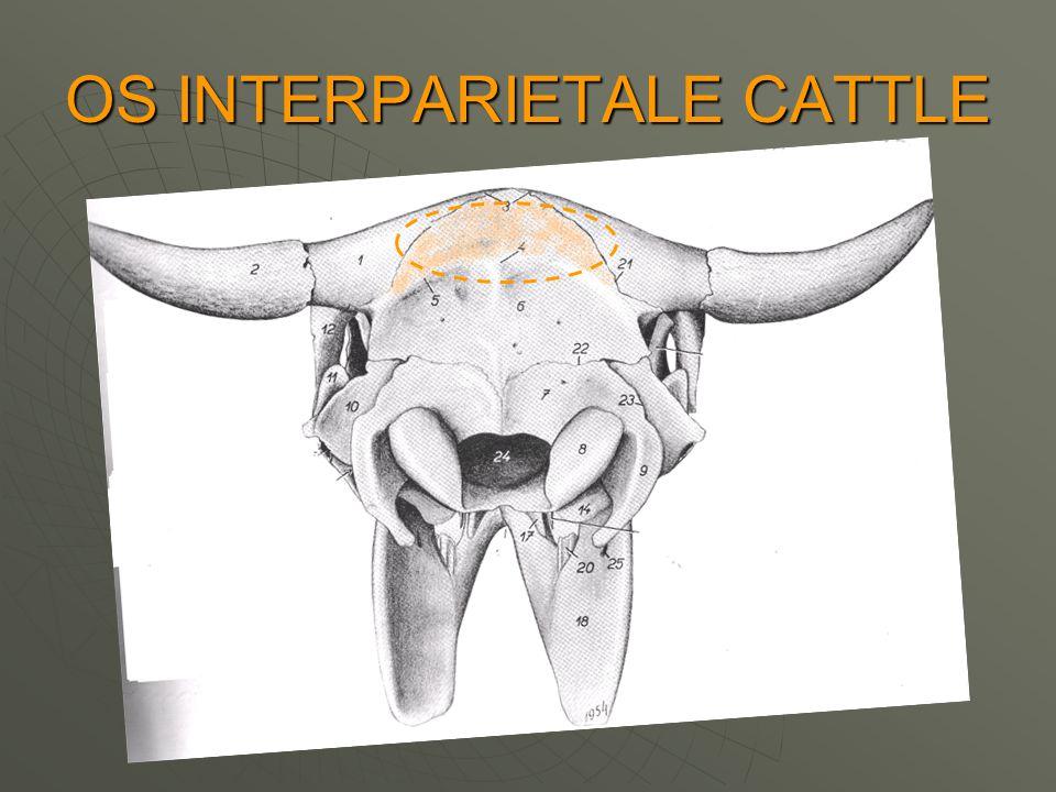 OS INTERPARIETALE CATTLE