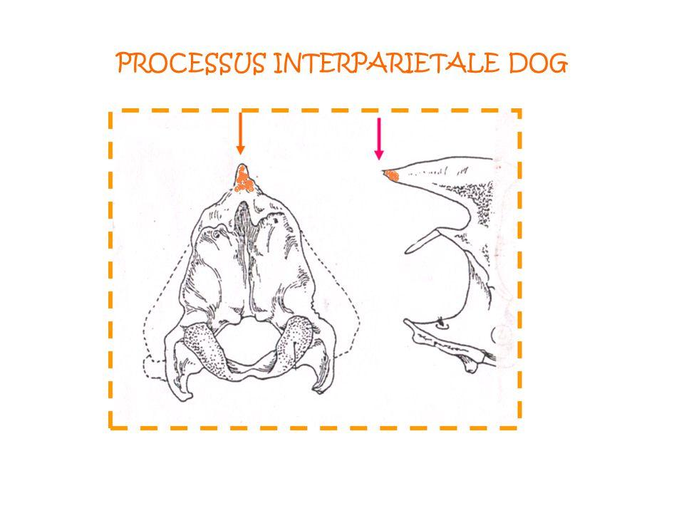 PROCESSUS INTERPARIETALE DOG