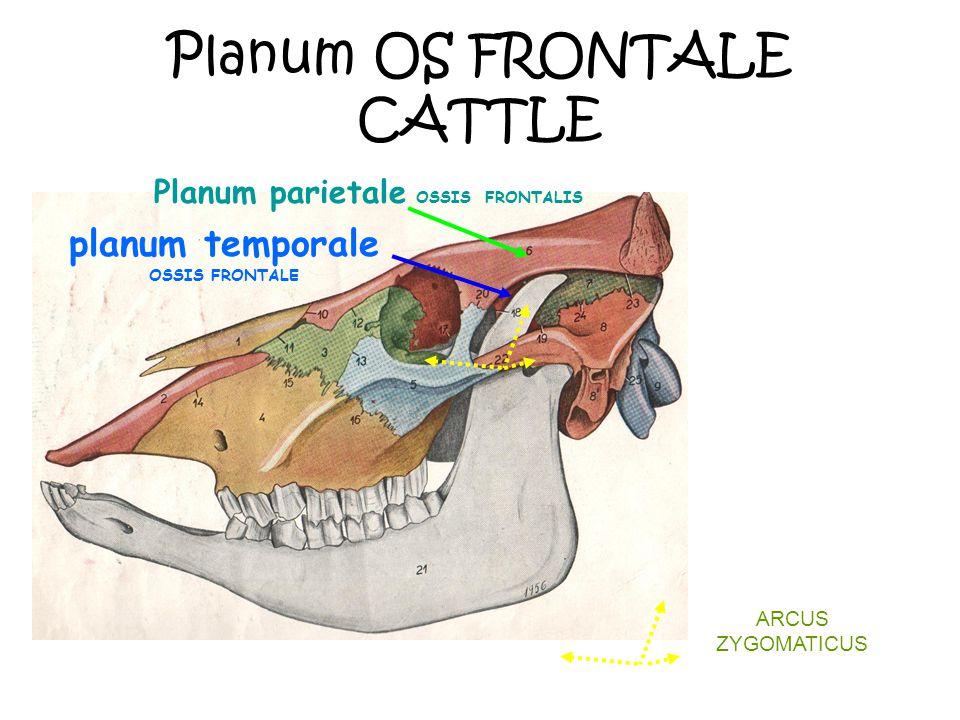Planum OS FRONTALE CATTLE Planum parietale OSSIS FRONTALIS planum temporale OSSIS FRONTALE ARCUS ZYGOMATICUS