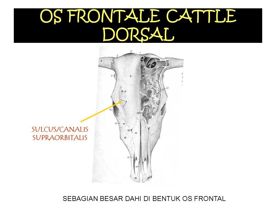 OS FRONTALE CATTLE DORSAL SULCUS/CANALIS SUPRAORBITALIS SEBAGIAN BESAR DAHI DI BENTUK OS FRONTAL