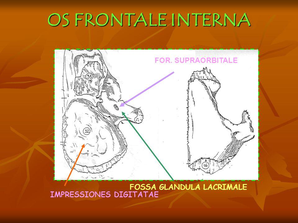 OS FRONTALE INTERNA IMPRESSIONES DIGITATAE FOSSA GLANDULA LACRIMALE FOR. SUPRAORBITALE