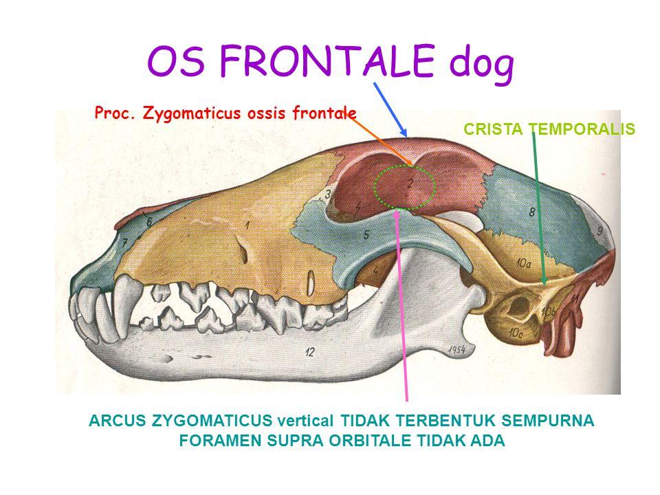 OS FRONTALE dog ARCUS ZYGOMATICUS vertical TIDAK TERBENTUK SEMPURNA FORAMEN SUPRA ORBITALE TIDAK ADA CRISTA TEMPORALIS Proc. Zygomaticus ossis frontal