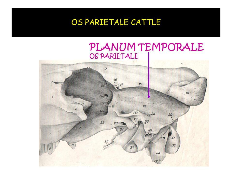 OS PARIETALE CATTLE PLANUM TEMPORALE OS PARIETALE