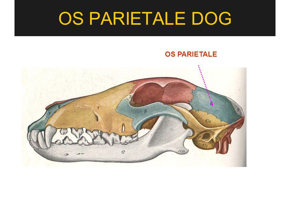 OS PARIETALE DOG OS PARIETALE