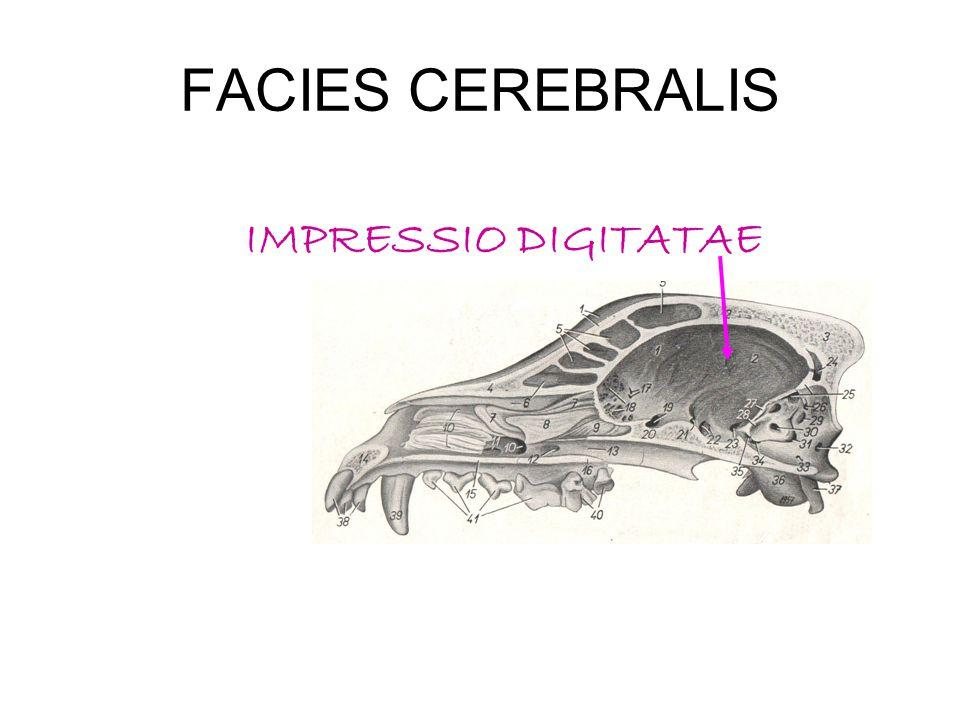 FACIES CEREBRALIS IMPRESSIO DIGITATAE