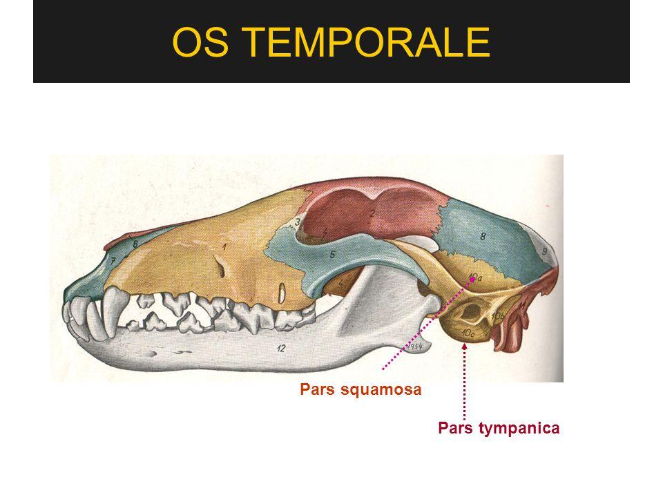 OS TEMPORALE Pars squamosa Pars tympanica