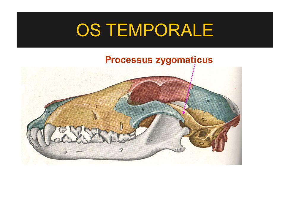 Processus zygomaticus OS TEMPORALE