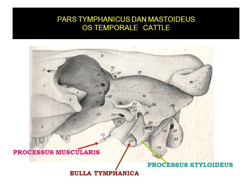 PARS TYMPHANICUS DAN MASTOIDEUS OS TEMPORALE CATTLE BULLA TYMPHANICA PROCESSUS MUSCULARIS PROCESSUS STYLOIDEUS