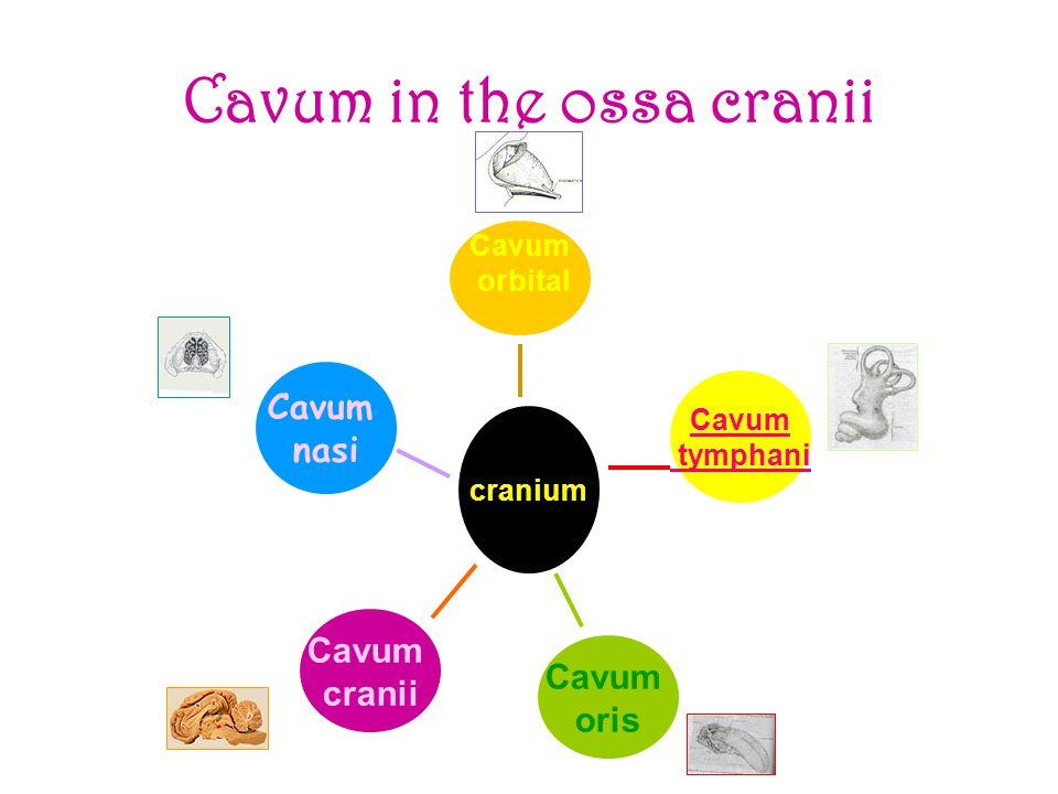 Cavum in the ossa cranii Cavum orbital Cavum tymphani Cavum oris Cavum cranii Cavum nasi cranium