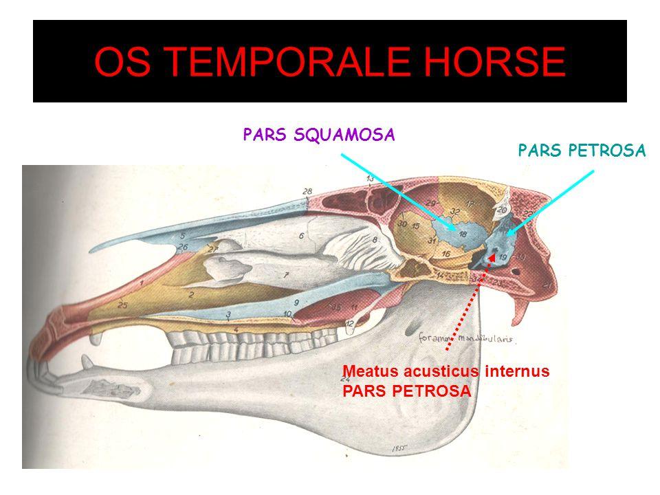 OS TEMPORALE HORSE PARS PETROSA PARS SQUAMOSA Meatus acusticus internus PARS PETROSA