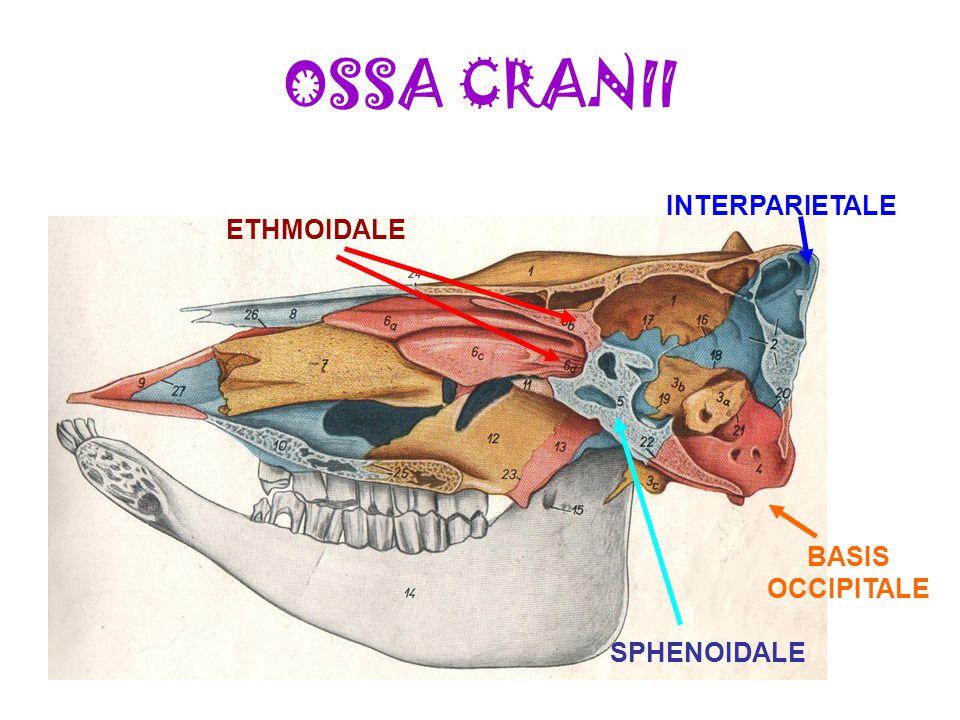 OSSA CRANII ETHMOIDALE INTERPARIETALE SPHENOIDALE BASIS OCCIPITALE