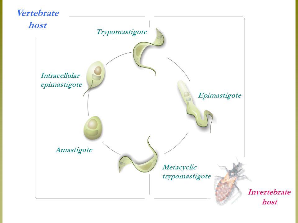 Trypomastigote Vertebrate host Intracellular epimastigote Epimastigote Metacyclic trypomastigote Amastigote Invertebrate host