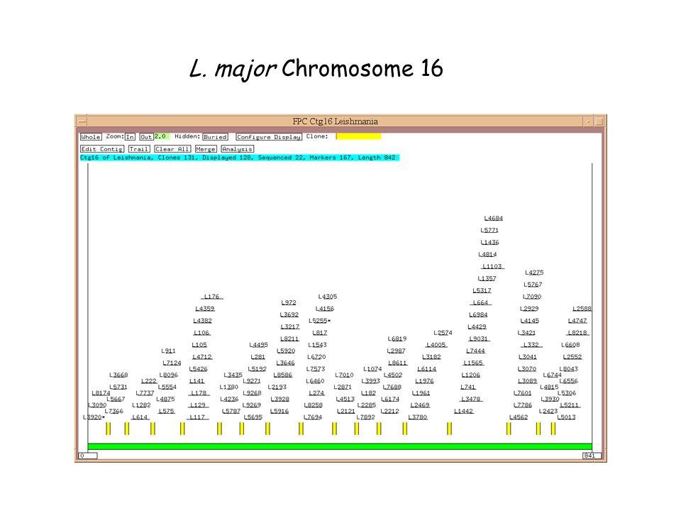 L. major Chromosome 16