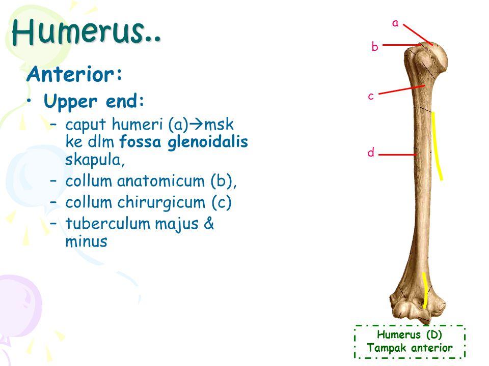 Surfaces (2) Facies Anterior (a) (=costalis) Facies Posterior (b): –spina scapulae (c)  awal di margo vert, melebar saat dkt bahu, mjd: –acromion (d)  artikulasi dg clavicula b a c d