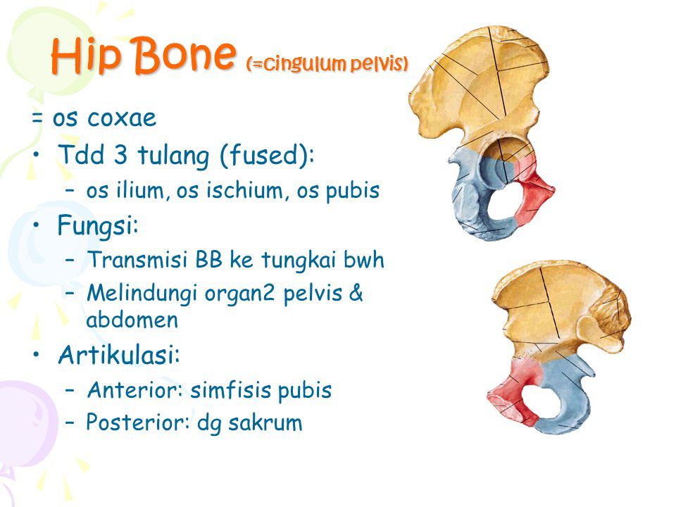 Bones of the Lower Limbs Composition: Gelang panggul (=cingulum pelvicum): os coxae Bones of free lower limb: –Femur in thigh –Patella (genu) –Tibia & fibula (cruris) –Tarsals, metatarsals, phalanges (pedis)