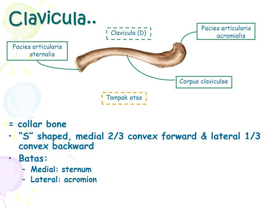 Bones of the Upper Limbs Tdd: Gelang bahu: clavicula, scapula  fs: melekatkan tlg lengan ke rangka axial Bones of free upper limb –Humerus (brachialis) –Radius & ulna (ante brachii) –Carpal, metacarpals, & phalanges (manus) brachialis antebrachium Cingulum pectorale manus