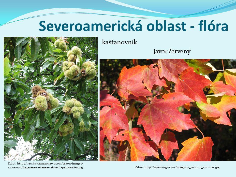 Severoamerická oblast - flóra Zdroj: http://npsnj.org/www/images/a_rubrum_autumn.jpg javor červený kaštanovník Zdroj: http://newfs.s3.amazonaws.com/taxon-images- 1000s1000/Fagaceae/castanea-sativa-fr-pamorati-a.jpg