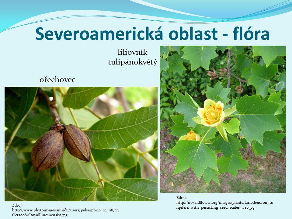 Severoamerická oblast - flóra Zdroj: http://www.phytoimages.siu.edu/users/pelserpb/10_22_08/23 Oct2008/CaryaIllinoinensis2.jpg ořechovec liliovník tulipánokvětý Zdroj: http://ncwildflower.org/images/plants/Liriodendron_tu lipifera_with_persisting_seed_scales_web.jpg