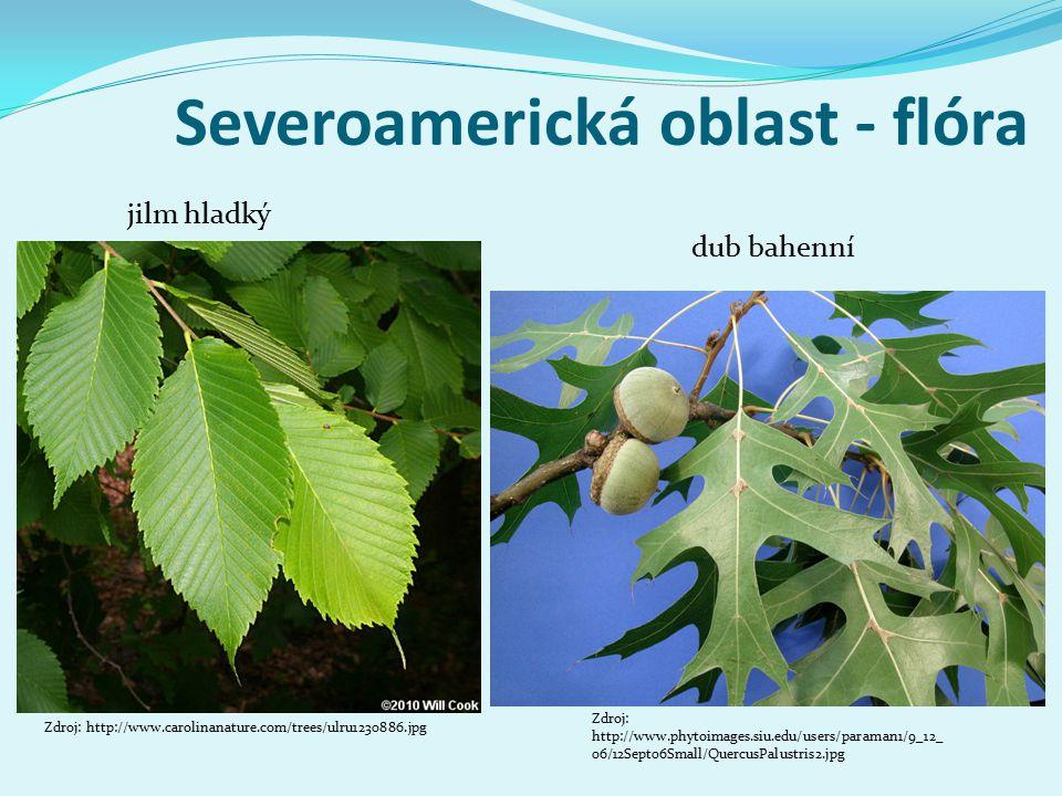 Severoamerická oblast - flóra Zdroj: http://www.carolinanature.com/trees/ulru1230886.jpg jilm hladký dub bahenní Zdroj: http://www.phytoimages.siu.edu/users/paraman1/9_12_ 06/12Sept06Small/QuercusPalustris2.jpg